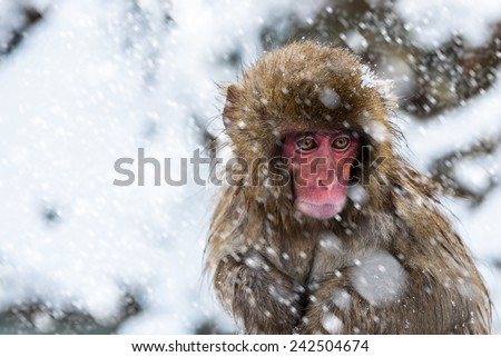 A baby snow monkey (macaca fuscata) shivers in a snowstorm at Jigokudani Monkey Park in Japan. - stock photo