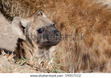 A baby spotted hyena next to its mother