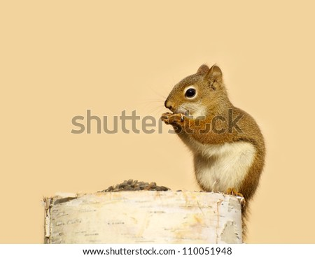 A baby squirrel on a birch log enjoying some sunflower seeds in with copy space.