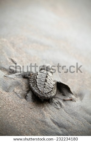 A baby turtle walks in the sand towards the ocean following it's instincts - stock photo