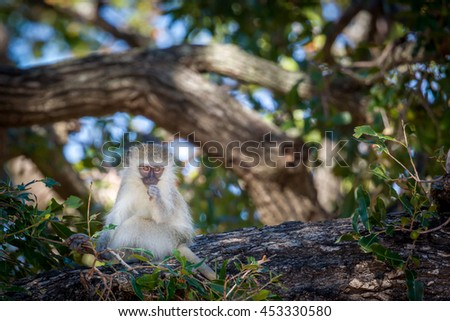 A baby vervet monkey eating in a tree.