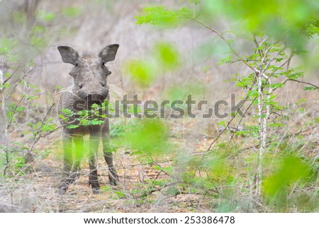 A baby warthog in the bush - stock photo
