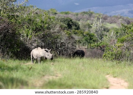 A baby white rhino / rhinoceros walking past. South Africa - stock photo