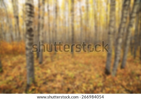 A background blur image of a poplar forest in autumn - stock photo