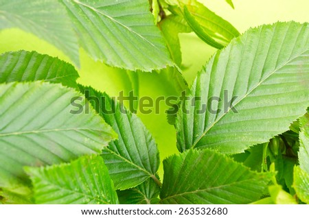 a background fron hornbeam leaves - stock photo
