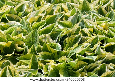 A background image of green and yellow hosta - stock photo