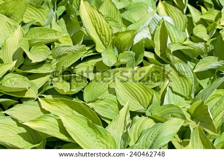 A background image of green hosta - stock photo