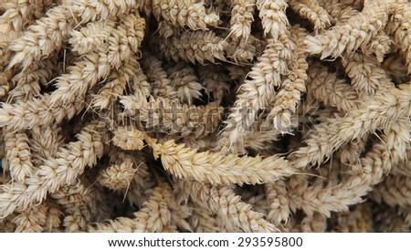 A Background Image of Wheat Stalk Ears. - stock photo