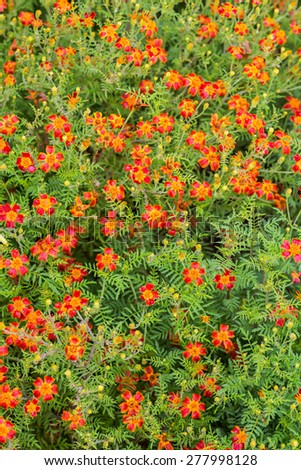 A background of a single type flowering marigold with lacey foliage known as a signet marigold.  This particular variety is Scarlet, Scarlet.  Botanical name is Tagetes signata Scarlet, Scarlet. - stock photo