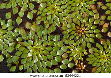 a background of water-chestnut plant - stock photo
