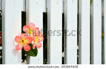A background of white picket fence with pink and yellow azalea flowers in the corner. Selective focus - stock photo