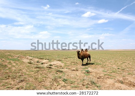 A Bactrian Camel in the Gobi desert. Mongolia