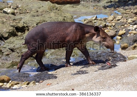 a baird's tapir on the beach at corcovado national park central america