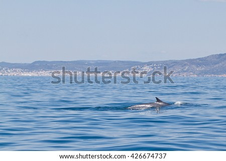 A Balaenoptera physalus, the common fin whale navigates in front of the coast of Barcelona in it's migration to Ligurian sea.