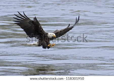 A Bald Eagle approaches the water with talons open to catch fish.