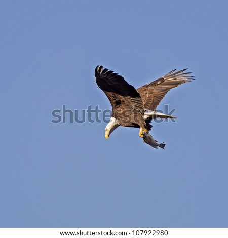 A Bald Eagle flying with a freshly caught fish in its' talons on a blue background.