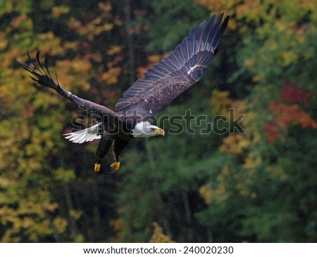 A Bald Eagle (haliaeetus leucocephalus) flying over in Autumn with rain falling.  - stock photo