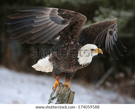 A Bald Eagle (haliaeetus leucocephalus) perched on a post, posing with it's wings up with snow falling in the background.  - stock photo