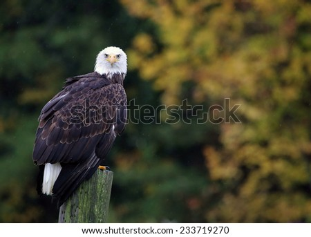 A Bald Eagle (haliaeetus leucocephalus) perched on a post with autumn trees in the background.  - stock photo