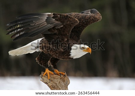 A Bald Eagle (Haliaeetus leucocephalus) taking off.  - stock photo