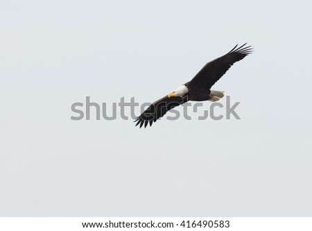 A bald eagle in flight over the Mississippi River along the Great River Road near Alton, Illinois