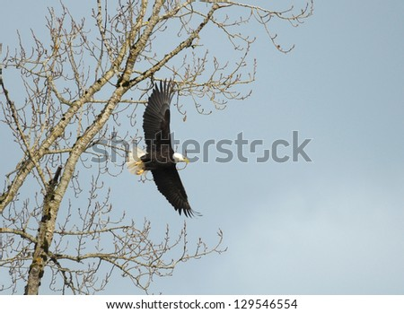 A Bald Eagle is flying - stock photo