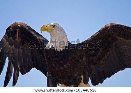 A bald eagle on a blue sky background with wings spread