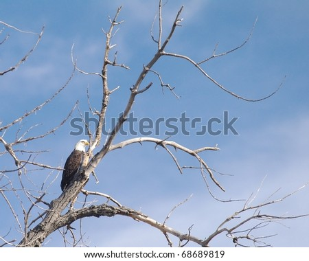 A Bald Eagle sitting in a tree in Colorado