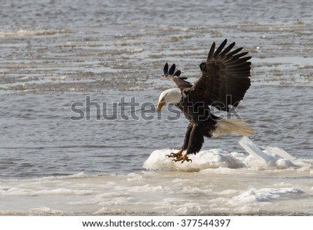 A bald eagle takes flight from ice chunks floating on the Mississippi River along the Great River Road near Alton, Illinois