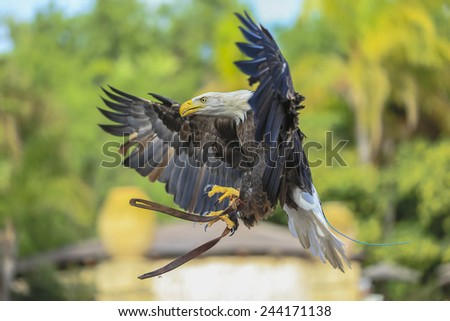 A bald eagle with its large wings in flight. - stock photo