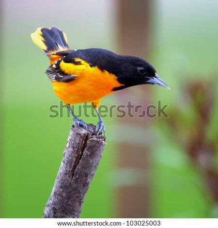A Baltimore Oriole perched on a tree limb with a green background..