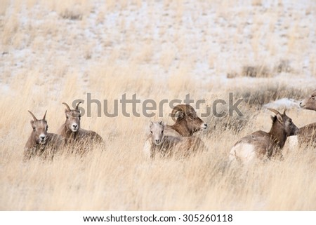 A band of big horn sheep laying in a field with a ram and some ewes - stock photo