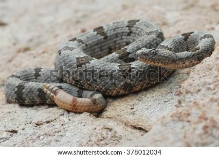 A banded rock rattlesnake (Crotalus lepidus klauberi) in a defensive posture, found in Arizona.   - stock photo