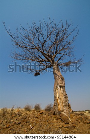 A baobab tree photographed from below on a sunny day