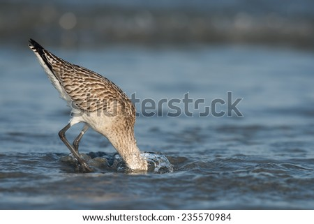 A Bar-tailed Godwit (Limosa lapponica) plunging its head deep below the water to find worms in the sand - stock photo