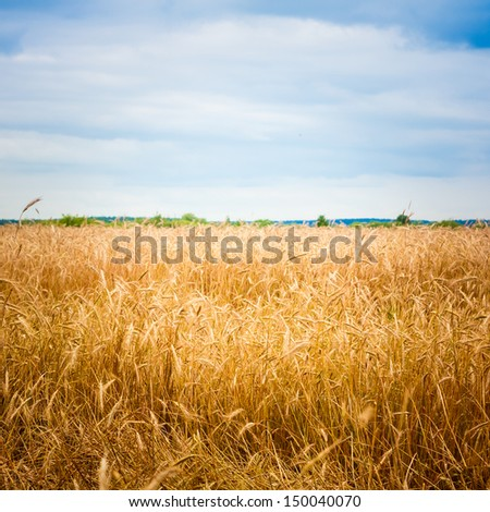 A Barley Field With Shining Golden Barley Ears In Late Summer / Golden Barley Ears - stock photo
