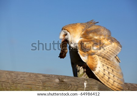 A barn owl eating a mouse sitting on a fence