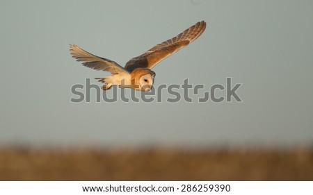 A barn owl flying - stock photo