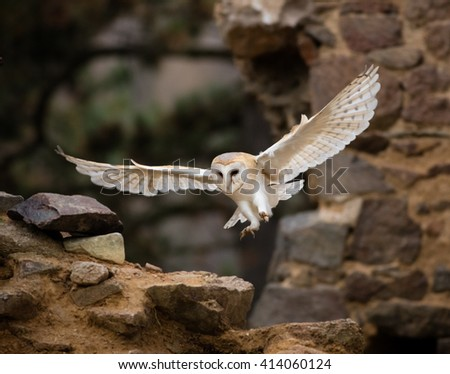 A Barn owl flying in old castle ruins in morning houres. - stock photo