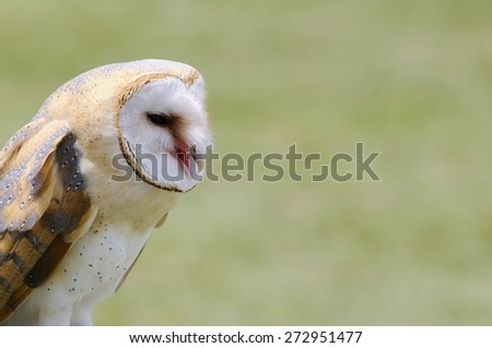 A barn owl on a green background.