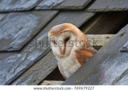 A Barn Owl perched in a hole in a slate roof