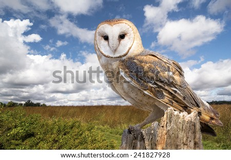 A barn owl perched on a dead tree stump in a meadow.   By night, they hunt on buoyant wingbeats in open fields and meadows. - stock photo