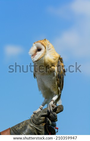 A barn owl perched on a gauntlet against blue sky