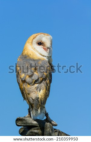 A barn owl perched on a gauntlet against blue sky - stock photo