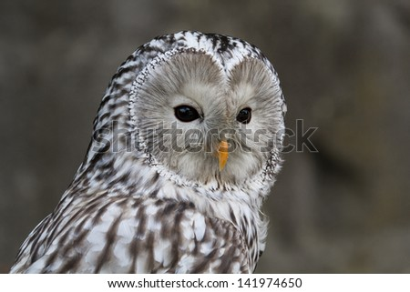 A barn owl who is staring at the