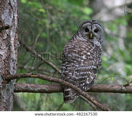 A Barred Owl (Strix varia) looking back while perched on a branch.  Shot on Gabriola Island, British Columbia, Canada.