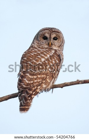A barred owl (strix varia) perched on a tree branch. - stock photo