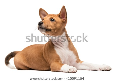 A basenji puppy laying gracefully