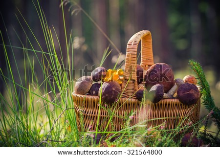 A basket full of edible mushrooms in the forest - stock photo