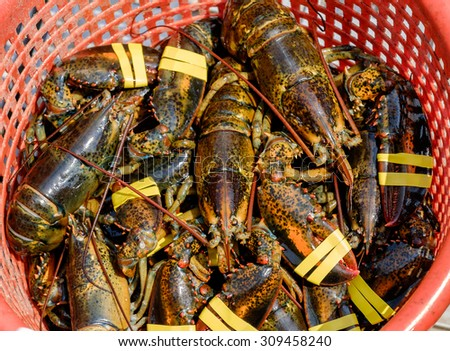 A basket full of fresh out of the ocean lobsters are hoisted up in a basket for processing - stock photo